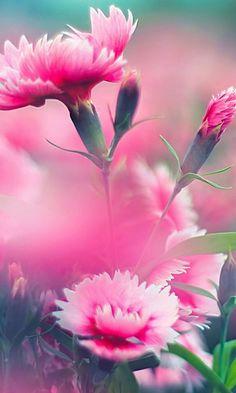 Wallpaper#flower#rose