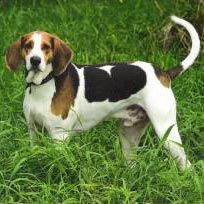 American Fox Hound dog photo | American Foxhound Information, Pictures of American Foxhounds ...