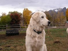 Range to Range: About Livestock Guardian Dogs