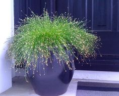 Zones 10, 11. Fiber optic grass grows well in tropics, in a colder climate, you can grow it as annual. It hangs down gently in a curve and creates an unusual effect. It's one of the best ornamental grasses you would like to grow in containers.