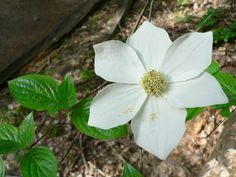 Pacific Dogwood (Cornus nuttallii) Layered shrub/tree closer to the river with yellowish clusters at the end of branches House Plants, Plants, Tree, Shrubs, Pacific Dogwood, Trees To Plant, Flowers, Dogwood