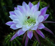 A méhek által térd Saija Lehtonen
