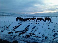 Wild horses everywhere in Reno