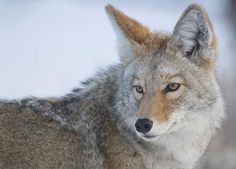 Photo by Franzphoto/Alamy There's an incredible amount of calls for attracting coyotes. But when the typical rabbit distress screams don't work, try these three calls to lure in more dogs. Sitting Target The Call: Antelope fawn cry. The Hunt: Set up 400 yards away from a grazing herd. Place your caller 30 to 40 yards in front of you to the right or left, depending on wind. Get your backside against some cover and turn on the caller.