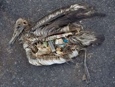 The majestic Albatross!!!  Plastic birds...what are we doing to our world!!!?