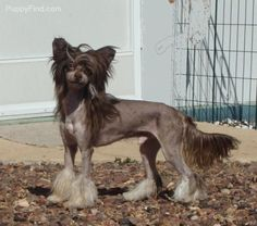 Chinese Crested Pictures (0ahhb786qxm)