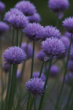 Chives and yummy