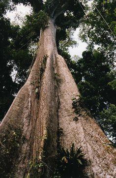 Ceiba Pentandra/Kapok/Silk Cotton tree by wallygrom, via Flickr