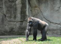 My favorite primate: Gorilla