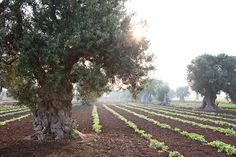 Ancient Olives Trees Puglia Copyright Carla Coulson Long before you arrive at Masseria Cimino you are struck by the sight of ancient olive trees that resem Photography Workshops, Photography Tips, Travel Photography, Evergreen Herbs, La Villette Paris, Old Trees, Home Landscaping, Olive Tree, Happy Thanksgiving