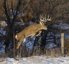 Whitetail Buck Jumping Barbed Wire Fence