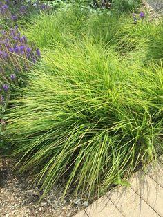 Sesleria autumnalis (Autumn Moor Grass)