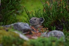 The Pika Photo by Andres D. — National Geographic Your Shot