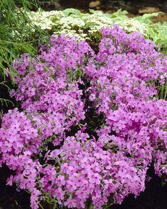 Kriechender Phlox • Phlox x procumbens • Kriechende Flammenblume • Pflanzen & Blumen • 99Roots.com