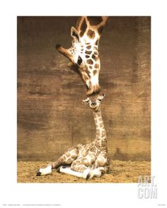 Friends of mine have this - LOVE LOVE it!! - Giraffe, First Kiss Print by Ron D'Raine at Art.com