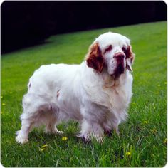 It will be YEARS before we get another dog, but I think I want a Clumber Spaniel!