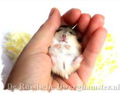 russische dwerghamster in de hand #hamster #dwerghamster #russischedwerghamster