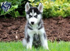 Blossom – Siberian Husky Puppy