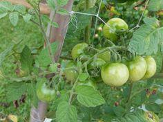 Trelica-tomate2
