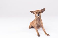 57_Dog_Portraits_Pet_photography_Denver_Studio-2360.jpg