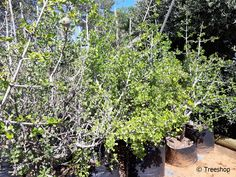 Indigenous trees for sale, Treeshop, Gauteng Flowering Shrubs, Deciduous Trees, African Tree, Fast Growing Trees, Unique Trees, Gardenia, Water Wise, Small Gardens, Bright Green