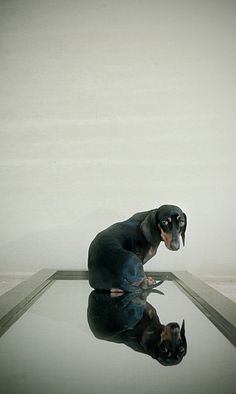 Beautiful reflected dachshund. I'd love this one framed!