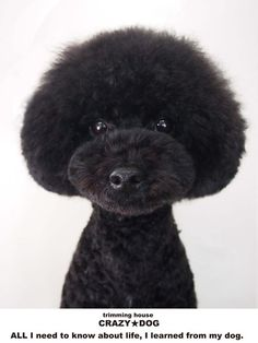how much is a dog haircut mohawk poodle cuts amp styles 5138 | 35e8689fcdbed8a5eca4317de5138b4f black silver crazy dog