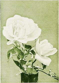 """Image from page 315 of """"The rose book, a complete guide for amateur rose growers"""" (1914) 