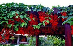 trepadeira-jade-vermelha-mucuna-bennettii