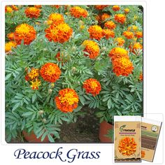 The peacock grass seed double red Huang Rui balcony potted flower seeds 50 seeds peacock flower seasons