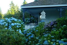 Porch with blue and purple hydrangea - so beautiful