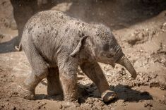 Qiyo, the Asian Elephant calf at Zoo Antwerpen's Planckendael, was recently photographed, having the time of her life. Keepers say she loves the water...and the mud!