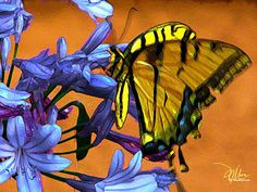 A beautiful digital art piece called Yellow Butterfly On Agapanthus by Douglas MooreZart