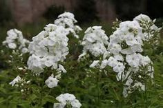 Image result for white phlox paniculata
