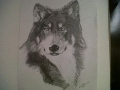 Sketch of Tundra the Wolf from the UKWCT by my boyfriend