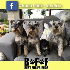 FUN: Max, Rosa and Thomas went for a play date today with Thomas girlfriend Betsy Burnells family. Top schnauzer supermodel and community worker Rosabella (who's heart is so big we don't know how it fits inside her chest) was so excited as as she got to see Zack Poulton (Betsy's cousin) her newest Schgod child.  #schnauzerfun #schnauzer  www.schnauzerfriendsza.com