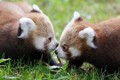 Red panda pals. Amiguinhos Panda vermelhos! :)