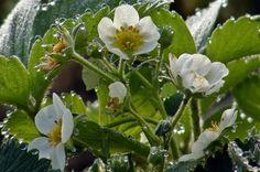 Eper és a tápanyag - gazigazito.hu Gardening, Plant, Balcony, Lawn And Garden, Horticulture