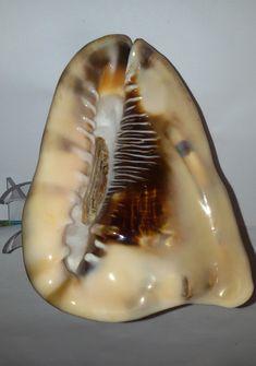Conchiglia Shell CASSIS TUBEROSA con opercolo mm 167 x120 Pescata viva Giamaica   eBay