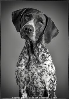 Black and white portrait of German Shorthaired Pointer