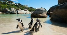 Enjoy a day excursion from Cape Town to Cape Point and the Cape of Good Hope. Visit the penguins at Boulders Beach and even spot whales in season. African Penguin, African Safari, Activities In Cape Town, Cape Town Hotels, Boulder Beach, Top Tours, Small Group Tours, Africa Travel, Bouldering