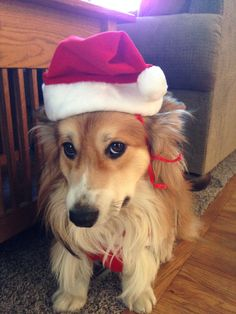 Santa Fluff. My corgi Louis.