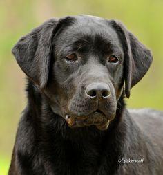 Dostaff Labrador Retriever