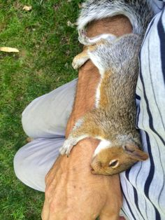 "(Squirrel fell in love with my stepdad.) [SQUIRREL:"" Me knows a good human by instinct. Dis guy be incredibly kind. He haz a good heart, ya know?"""