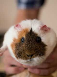 I love guinea pigs ♥ I have 4 of my own