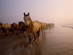 The wild ponies of Chincoteague Island, VA