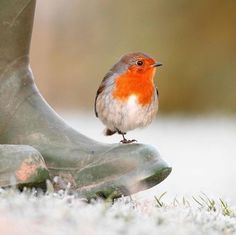 I adore birds and the Robin is one of my favourites ,Who can object to that wonderful song All Birds, Cute Birds, Pretty Birds, Little Birds, Beautiful Birds, Bird Pictures, Nature Pictures, Birds Photos, Funny Bird