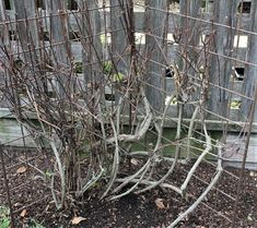 A well-pruned clematis is cut back to 2 to 3 feet above ground level.