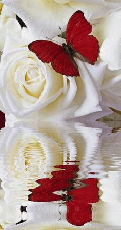 White roses & red butterfly with reflection in water. Butterfly Flowers, Beautiful Butterflies, Beautiful Roses, Beautiful Flowers, Beautiful Pictures, Gif Kunst, Rosas Gif, Love Rose, Flower Power