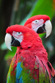 Two macaw parrots Tropical Birds, Exotic Birds, Colorful Birds, Pretty Birds, Beautiful Birds, Animals Beautiful, Parrot Pet, Parrot Bird, Animals And Pets